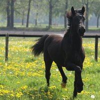 Welsh Cob jaarling hengst_295