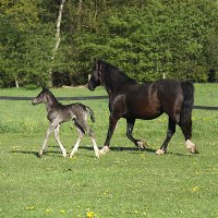 Welsh Cob Curly_0229