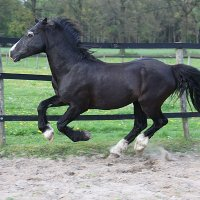 Welsh Cob dekhengst Ceres Commando 2014_216