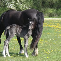 Welsh Cob Curly_0209