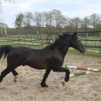 Welsh Cob dekhengst Ceres Commando 2014_221