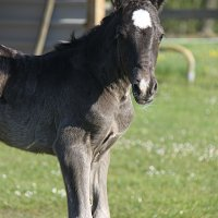 Welsh Cob Curly_0176