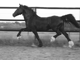 Welsh Cob hengst Ceres Commando