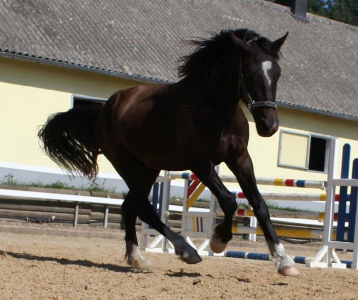 Welsh Cob stallion - Valando